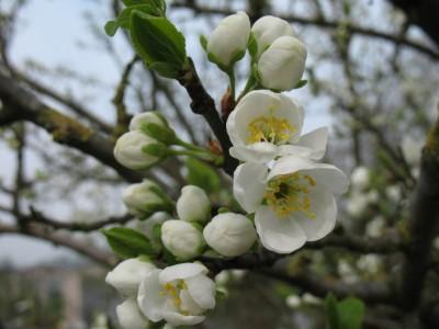 bloesem in het voorjaar